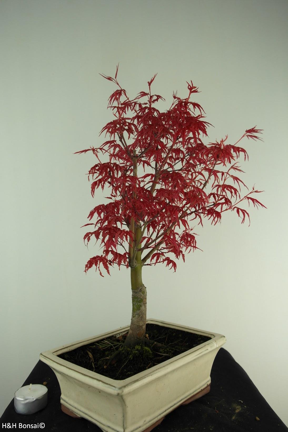 Bonsai Acer palmatum deshojo, Japanse esdoorn, nr. 7427