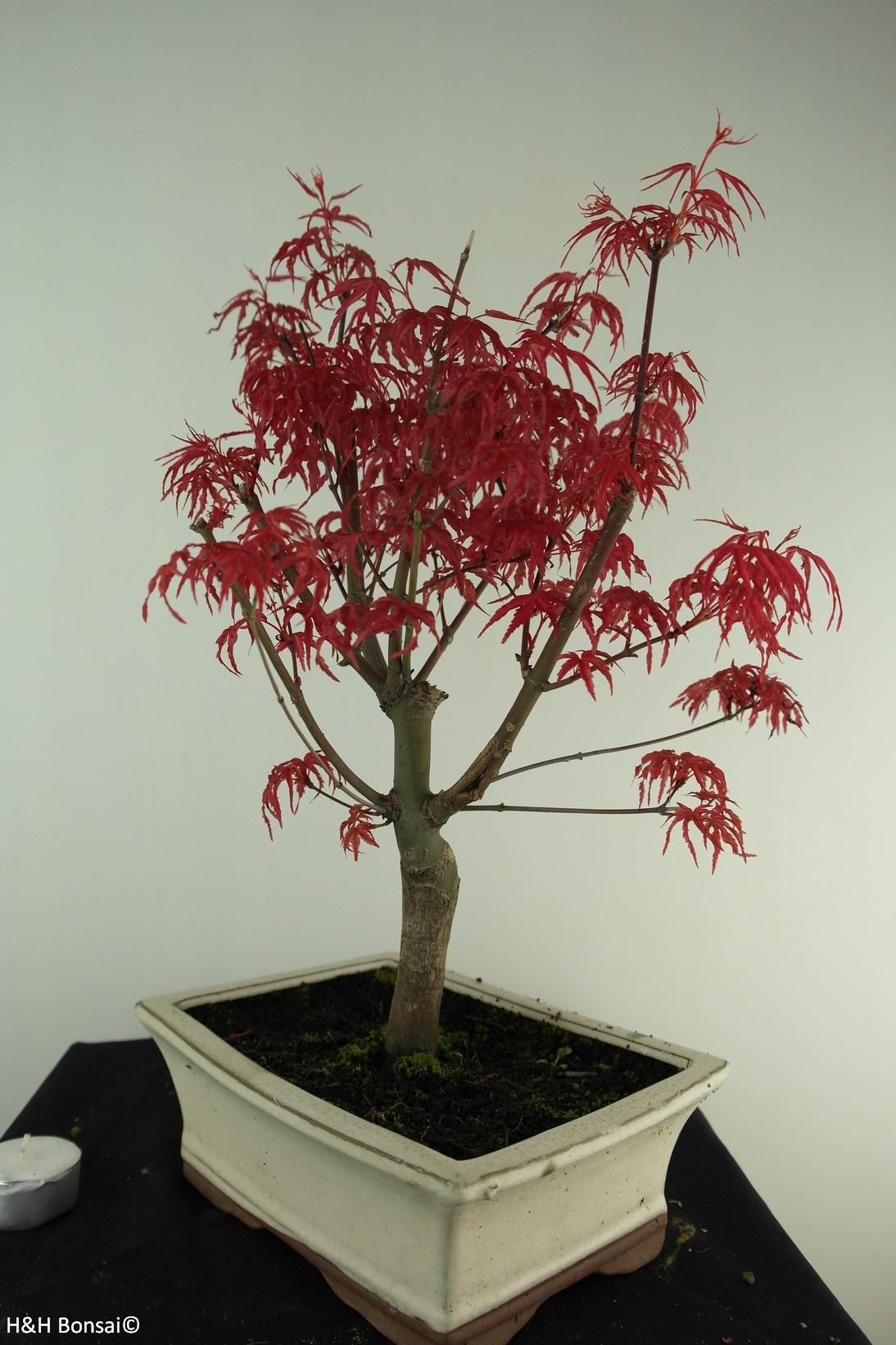 Bonsai Acer palmatum deshojo, Japanse esdoorn, nr. 7458