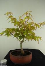 Bonsai Acer palmatum Orange Dream, nr. 7462