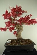 Bonsai Erable du Japon, Acer palmatum, no. 7767