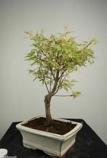 Bonsai Acer palmatum Batafurai, Butterfly, nr. 7374