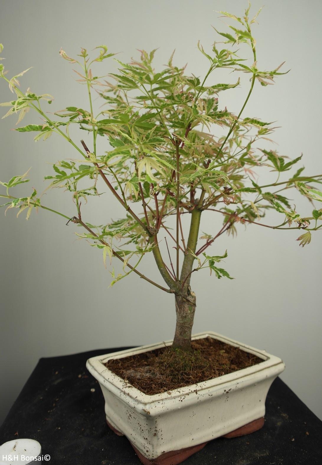Bonsai Acer palmatum Batafurai, Butterfly, nr. 7377