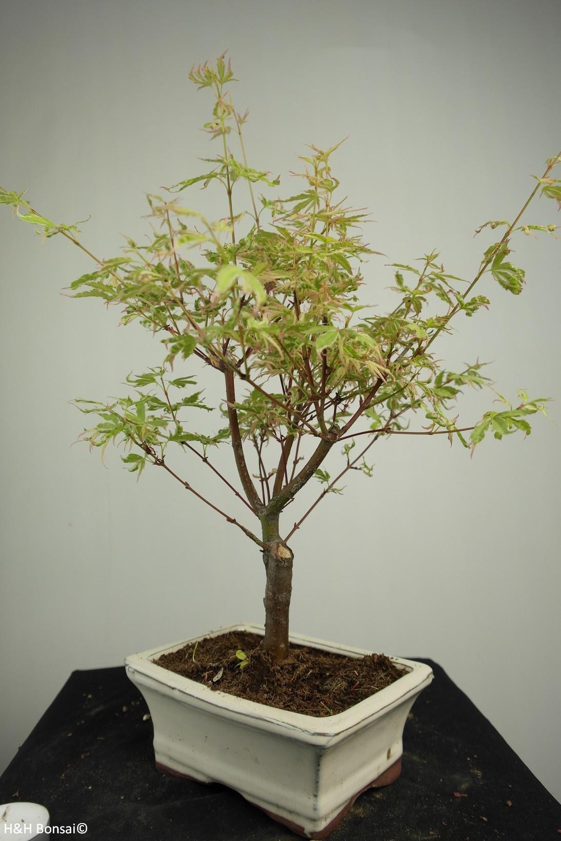 Bonsai Acer palmatum Batafurai, Butterfly, nr. 7379