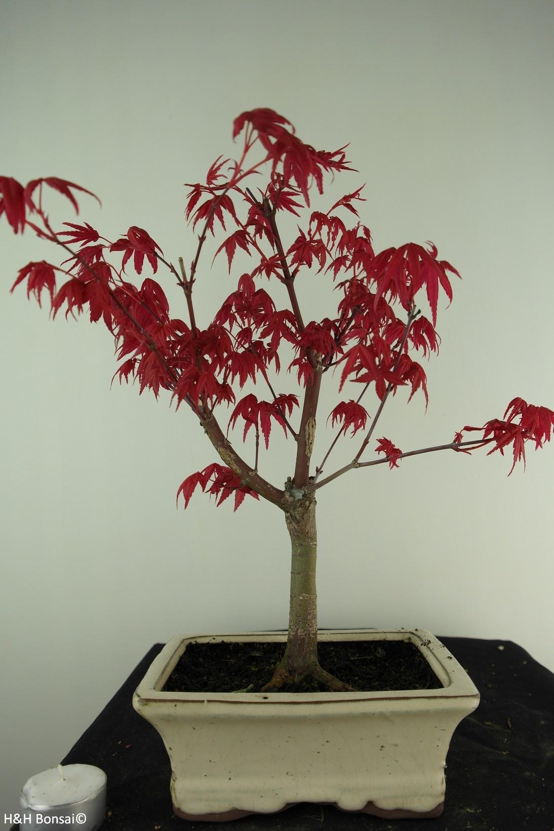 Bonsai Acer palmatum deshojo, Japanse esdoorn, nr. 7408