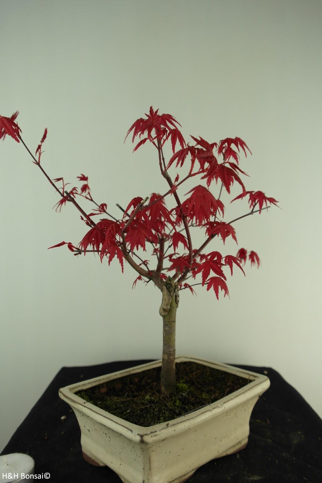 Bonsai Acer palmatum deshojo, Japanse esdoorn, nr. 7465