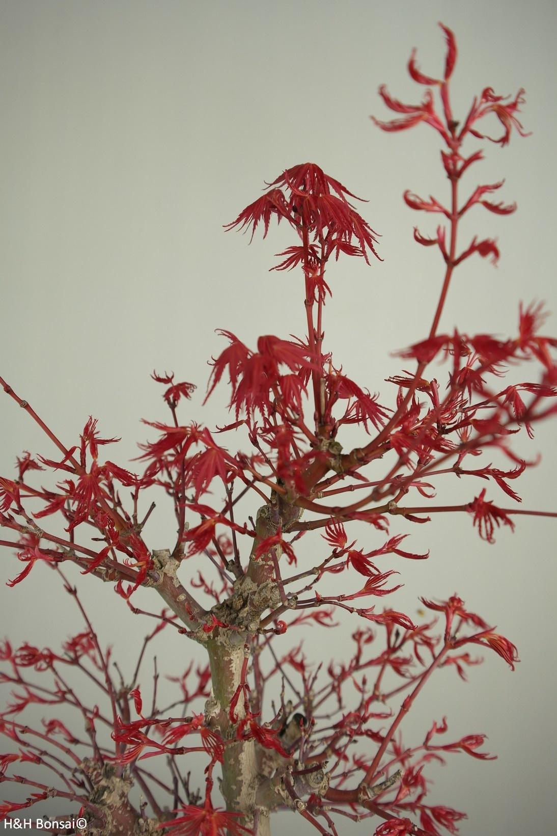 Bonsai Acer palmatum deshojo, Japanse esdoorn, nr. 7506