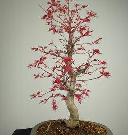 Bonsai Acer palmatum deshojo, Japanse esdoorn, nr. 7507