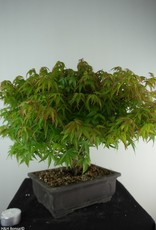 Bonsai Acer palmatum kiyohime, Japanse esdoorn, nr. 7532