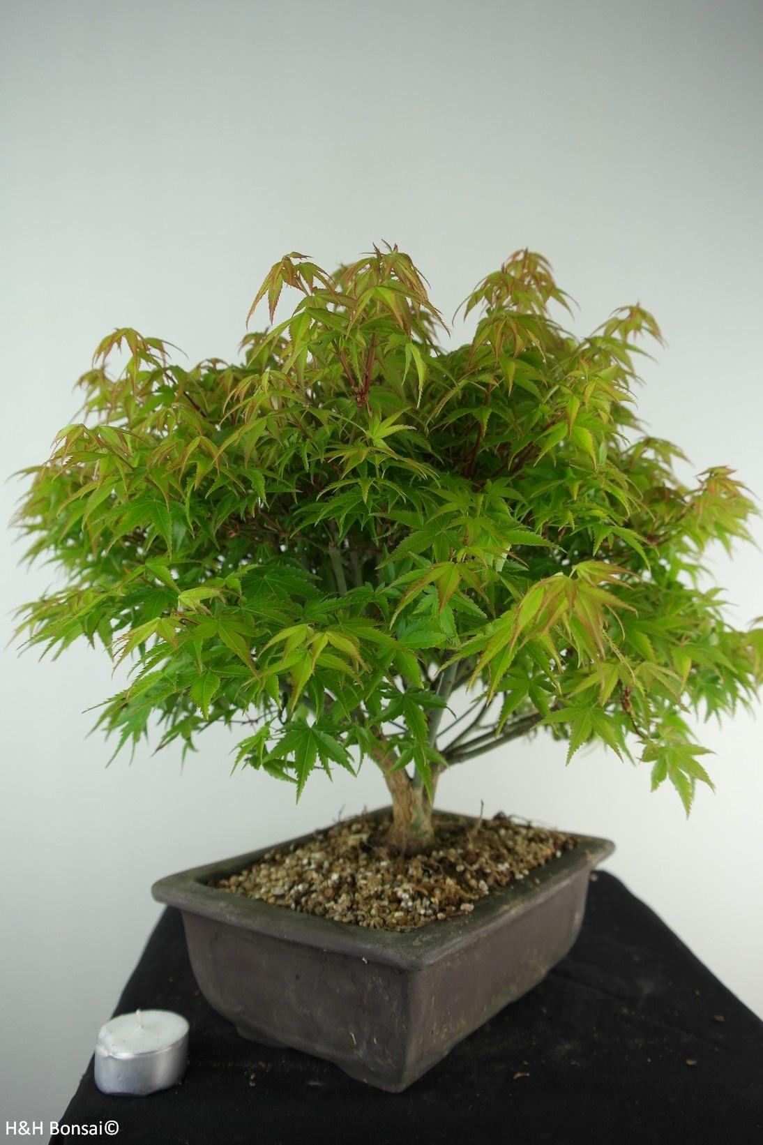 Bonsai Acer palmatum kiyohime, Japanse esdoorn, nr. 7533