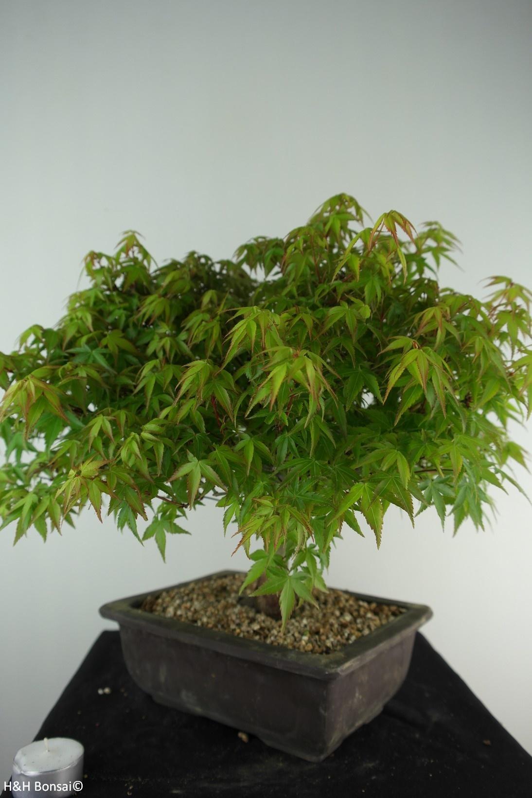 Bonsai Acer palmatum kiyohime, Japanse esdoorn, nr. 7534