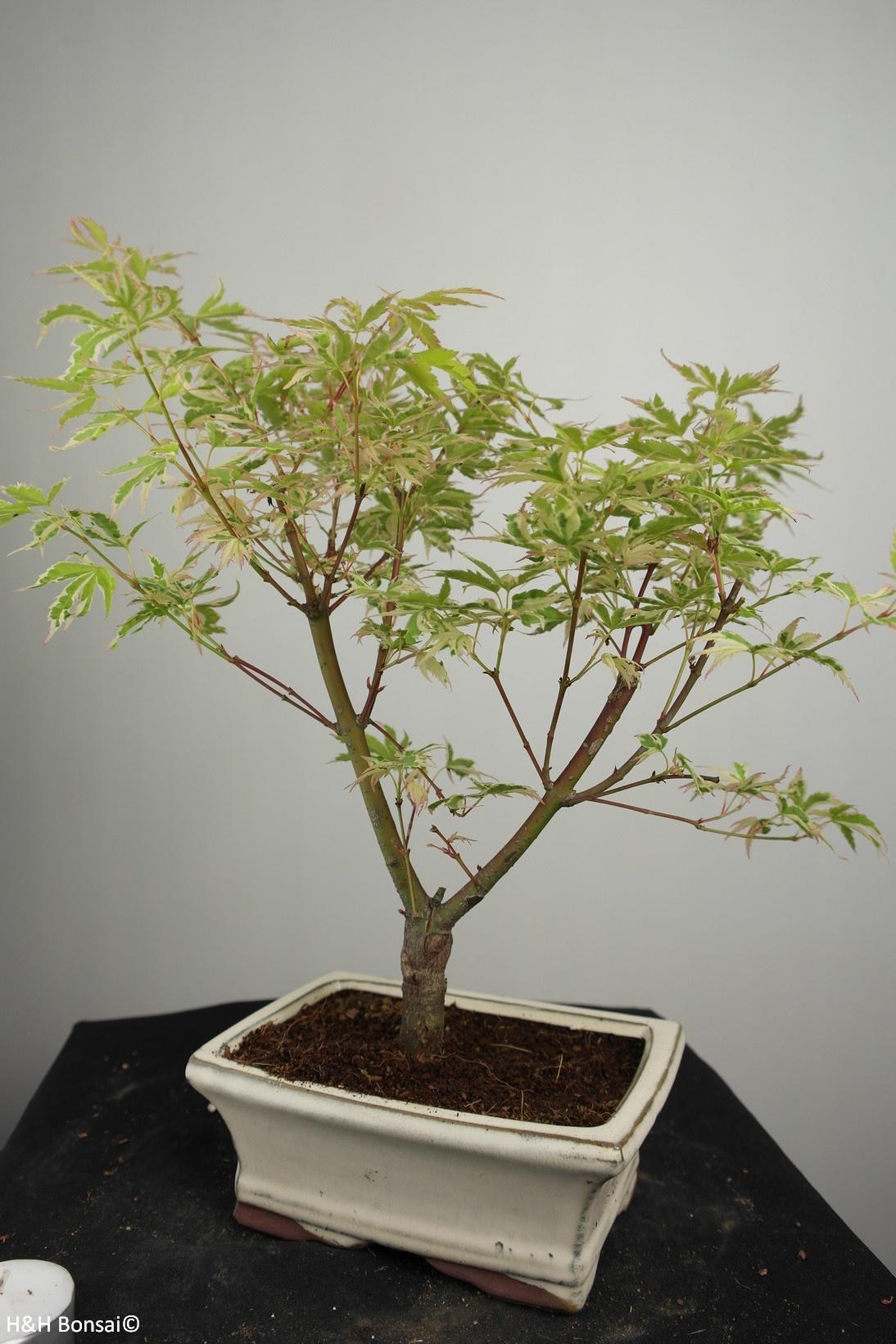 Bonsai Erable du Japon,Acer palmatumBatafurai, Butterfly, no. 7547