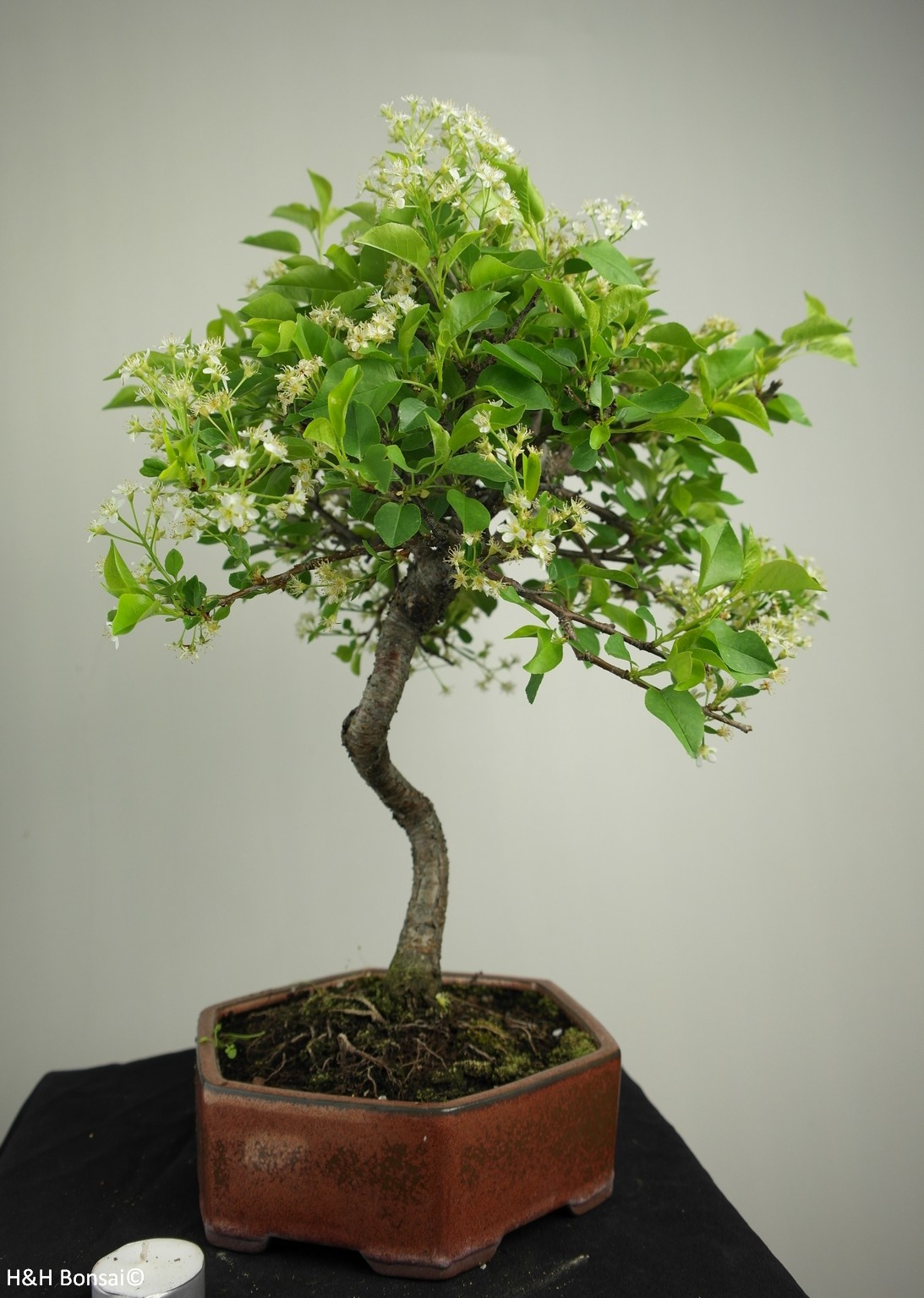 Bonsai Faux merisier, Prunus mahaleb, no. 7667