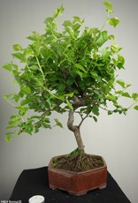 Bonsai Prunus mahaleb, Weichselkers, nr. 7668
