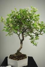 Bonsai Faux merisier, Prunus mahaleb, no. 7669