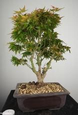 Bonsai Erable du Japon Kotohime, Acer palmatum Kotohime, no. 7694