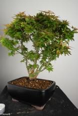 Bonsai Erable du Japon Kotohime, Acer palmatum Kotohime, no. 7695