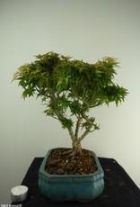 Bonsai Erable du Japon Kotohime, Acer palmatum Kotohime, no. 7696