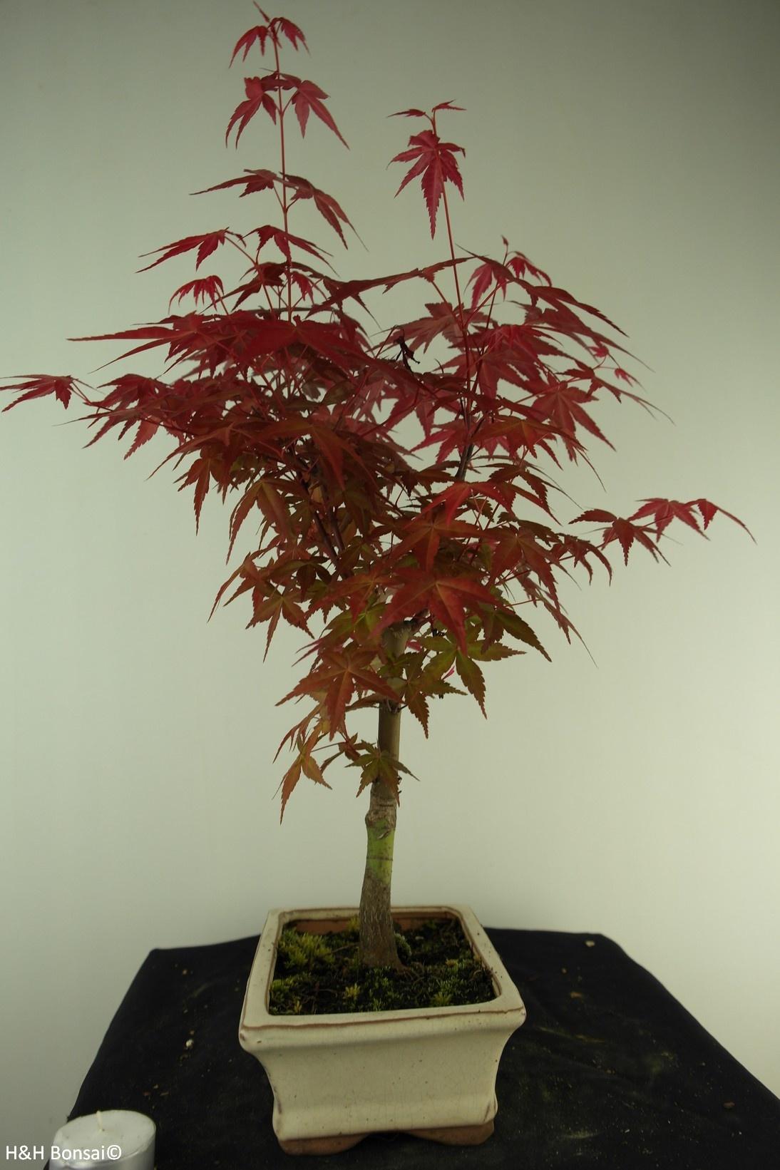 Bonsai Acer palmatum deshojo, Japanse esdoorn, nr. 7721