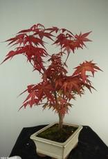 Bonsai Acer palmatum deshojo, Japanse esdoorn, nr. 7722