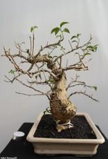 Bonsai Bougainvillier, Bougainvillea glabra, no. 7815