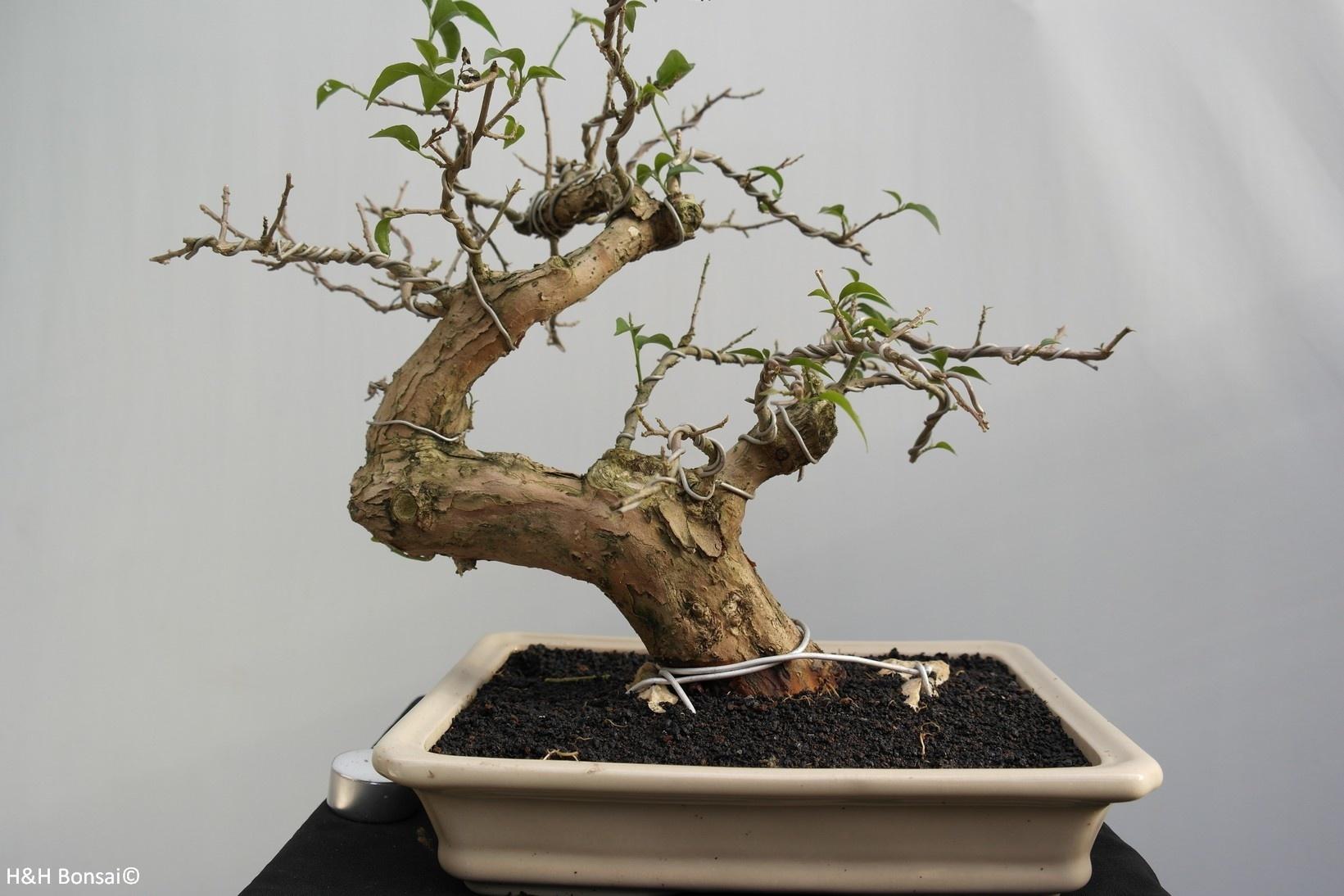BonsaiBougainvillea glabra, nr. 7815