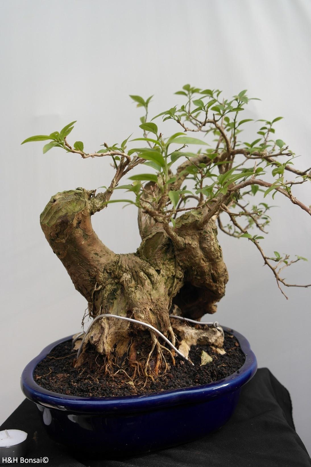 BonsaiBougainvillea glabra, nr. 7816