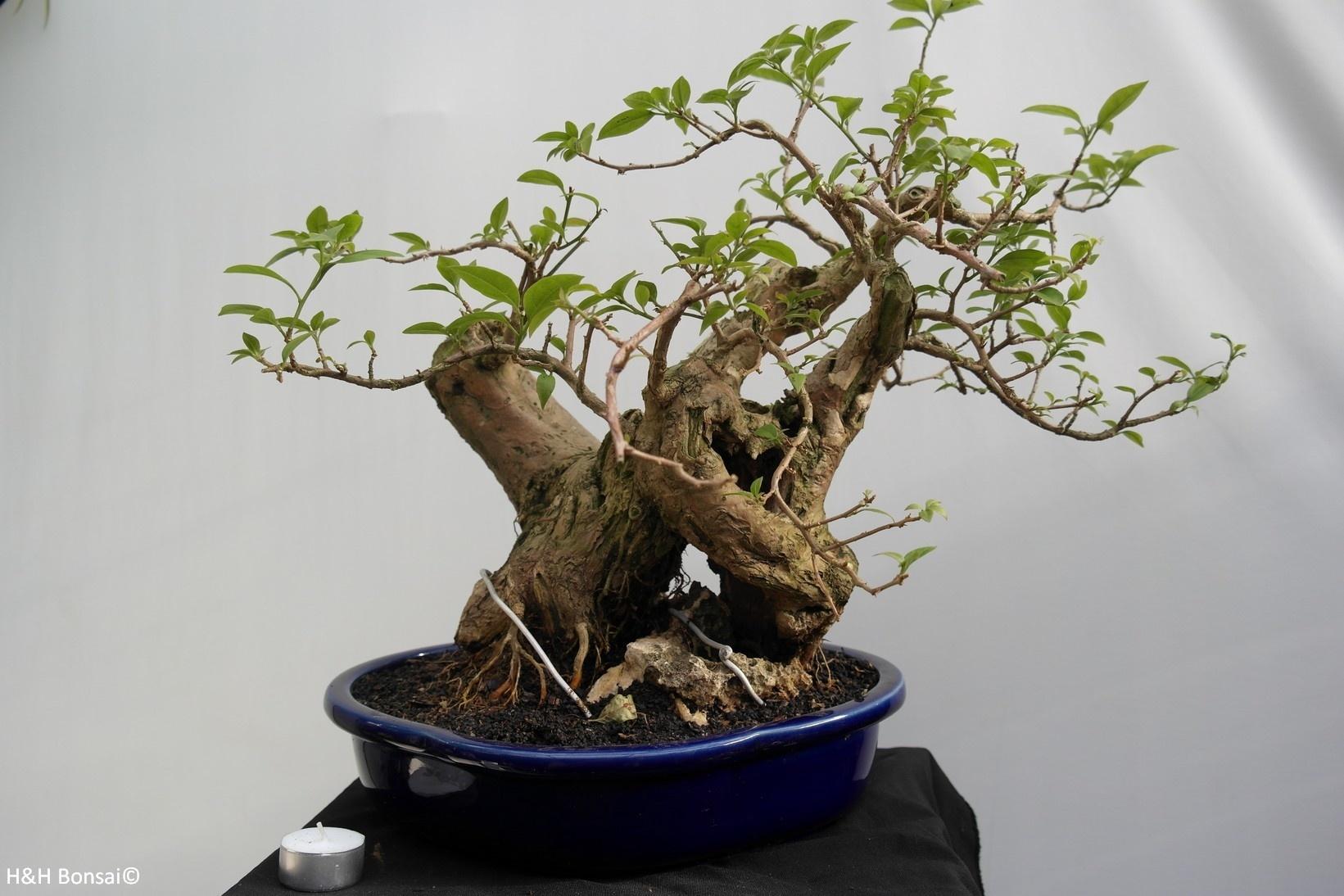 Bonsai Bougainvillier, Bougainvillea glabra, no. 7816