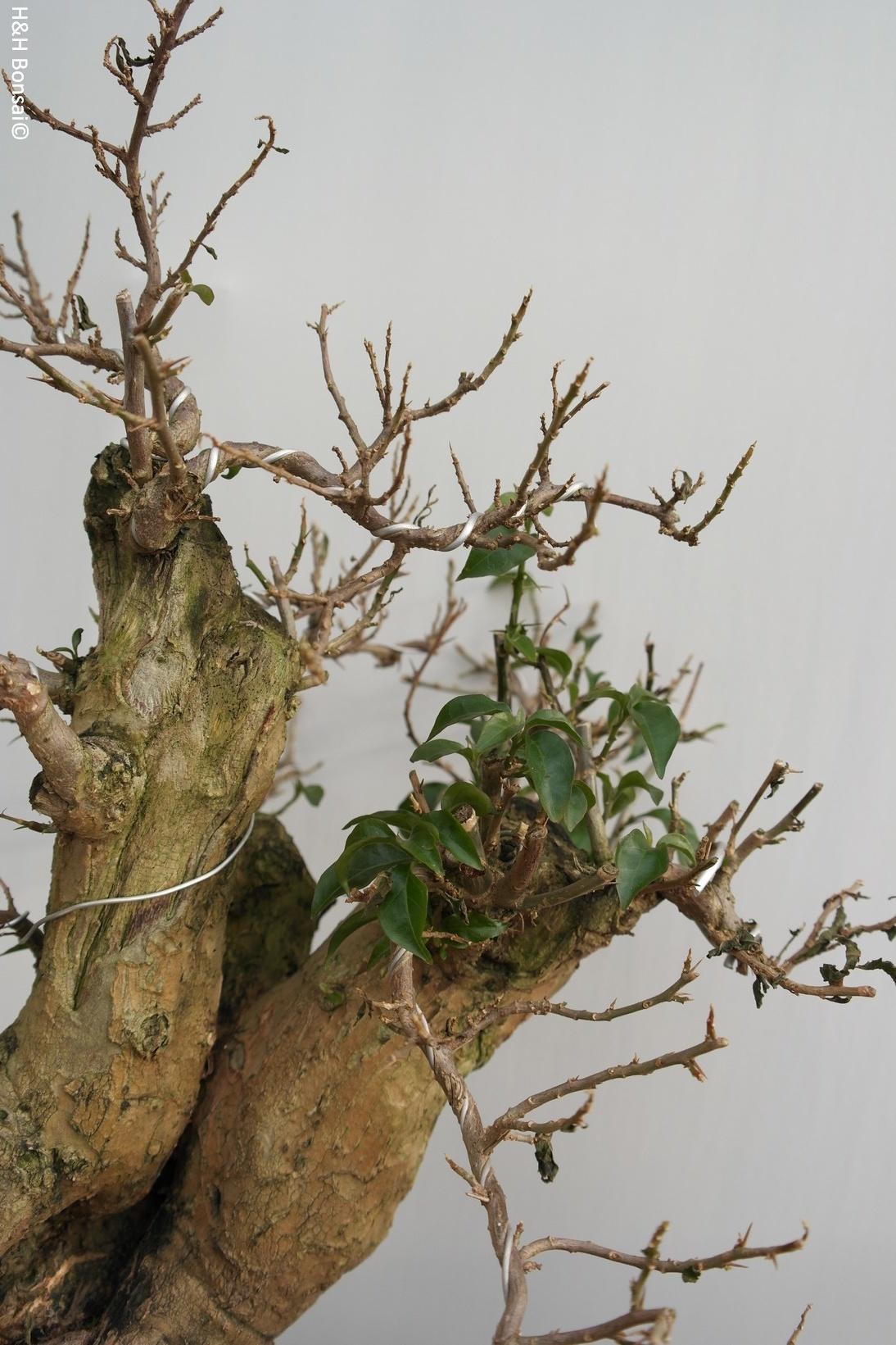 Bonsai Bougainvillier, Bougainvillea glabra, no. 7817