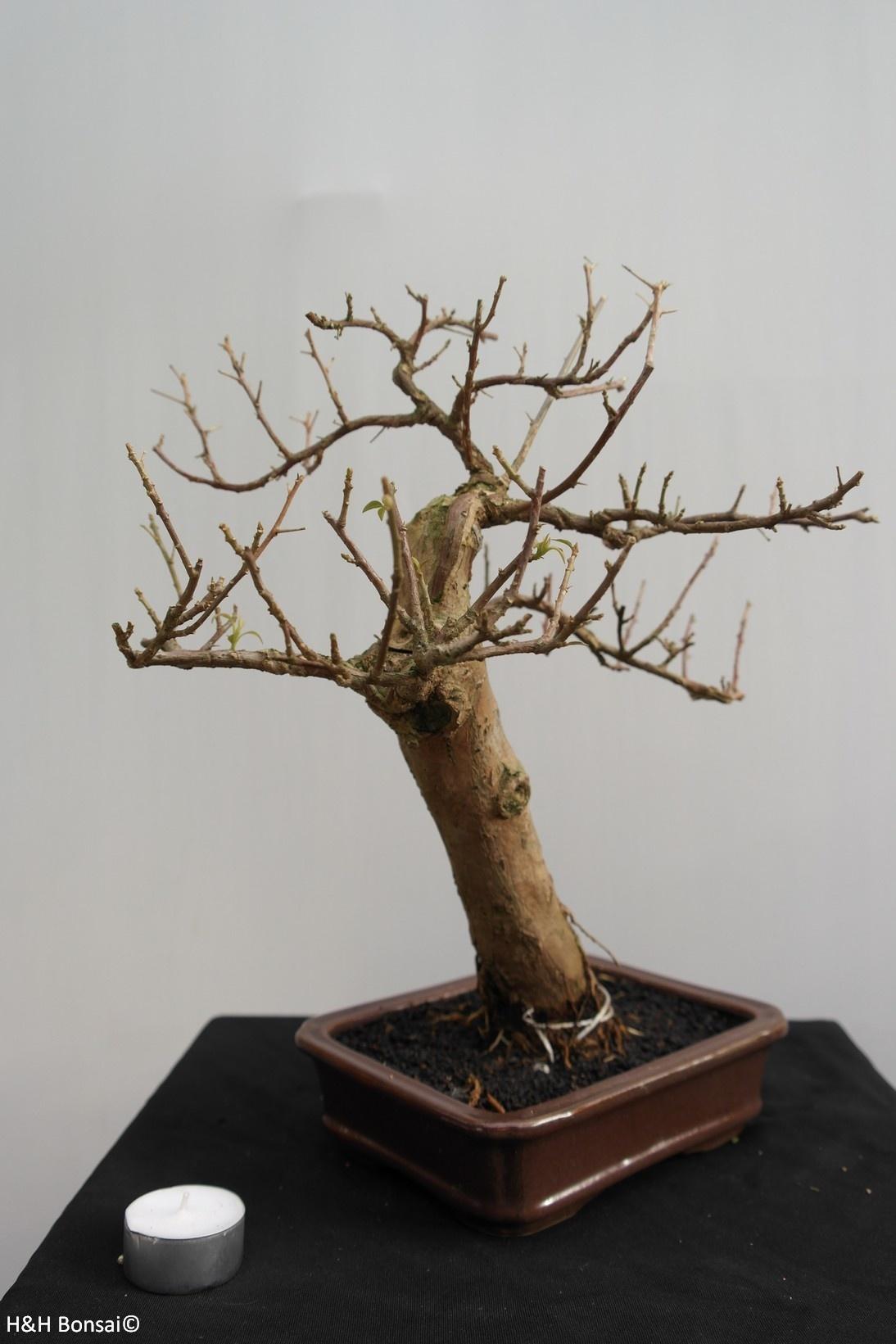 BonsaiBougainvillea glabra, nr. 7818