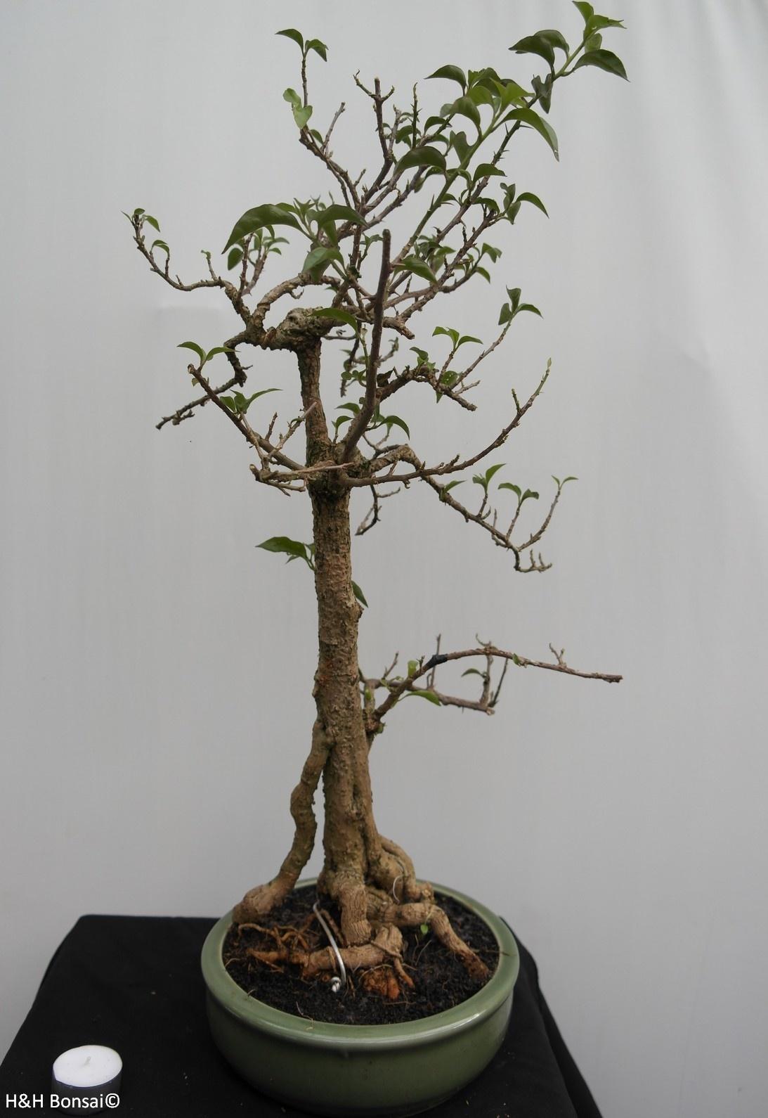 Bonsai Bougainvillier, Bougainvillea glabra, no. 7820
