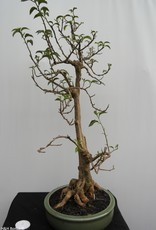 Bonsai Bougainvillea glabra, nr. 7820