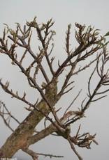 Bonsai Bougainvillier, Bougainvillea glabra, no. 7821