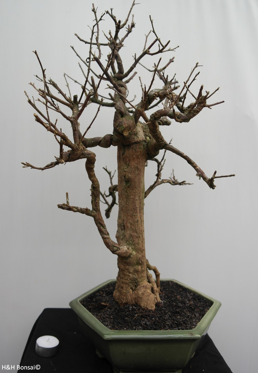 Bonsai Bougainvillea glabra, nr. 7822