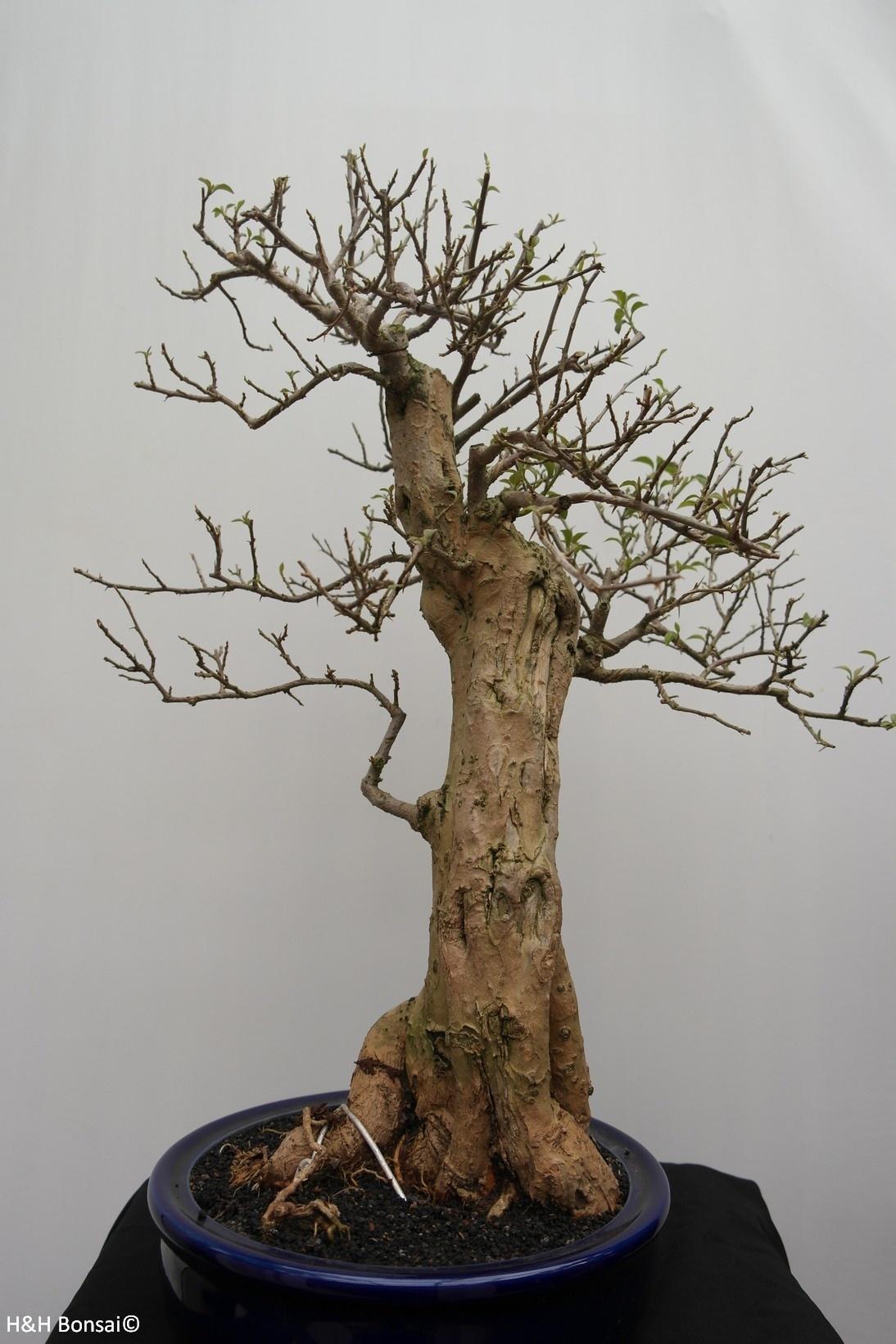Bonsai Bougainvillier, Bougainvillea glabra, no. 7823