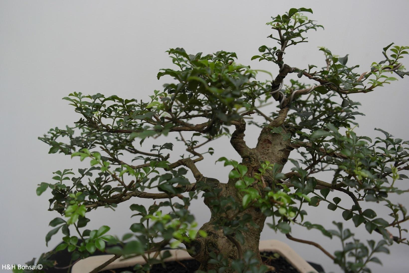 Bonsai Sophora, Kalimantan, no. 7825