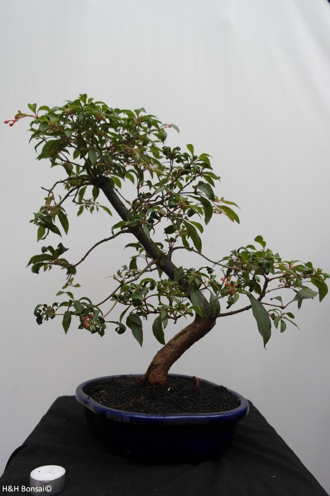 Bonsai Hamelia, nr. 7834