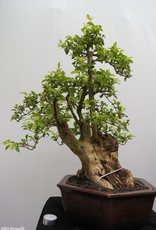 Bonsai Duranta, no. 7835