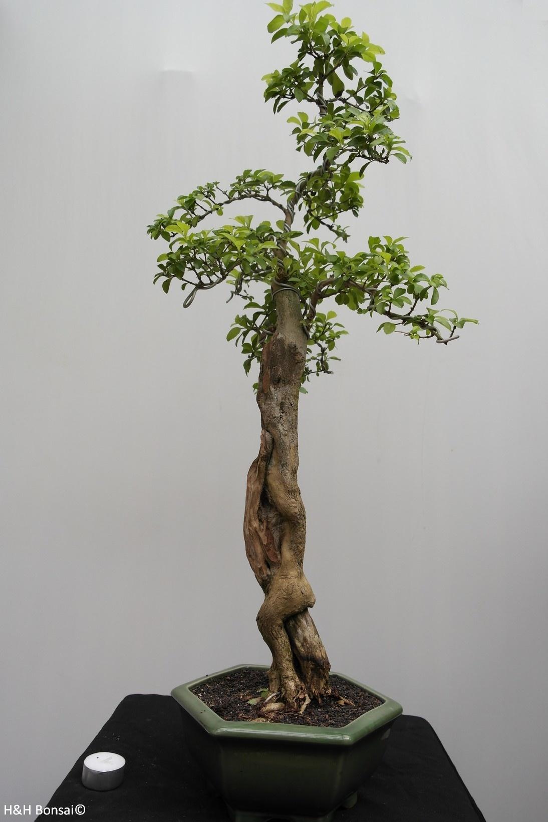 Bonsai Duranta, no. 7836