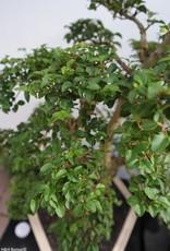 Bonsai Troène, Ligustrumsinense, no. 7842