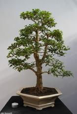 Bonsai Troène, Ligustrum sinense, no. 7843