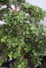 Bonsai Troène, Ligustrumsinense, no. 7844