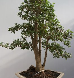 Bonsai Troène, Ligustrum sinense, no. 7845