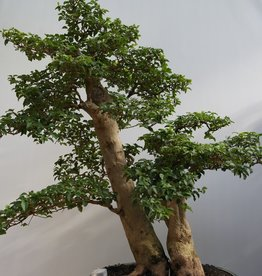 Bonsai Troène, Ligustrum sinense, no. 7847