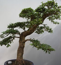 Bonsai Troène, Ligustrum sinense, no. 7848