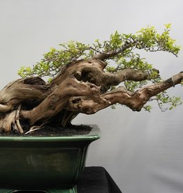 Bonsai Duranta, no. 7854
