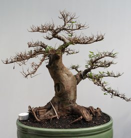 Bonsai Orme de chine, Zelkova, no. 7855