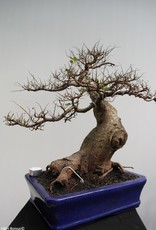 Bonsai Zelkova, nr. 7856