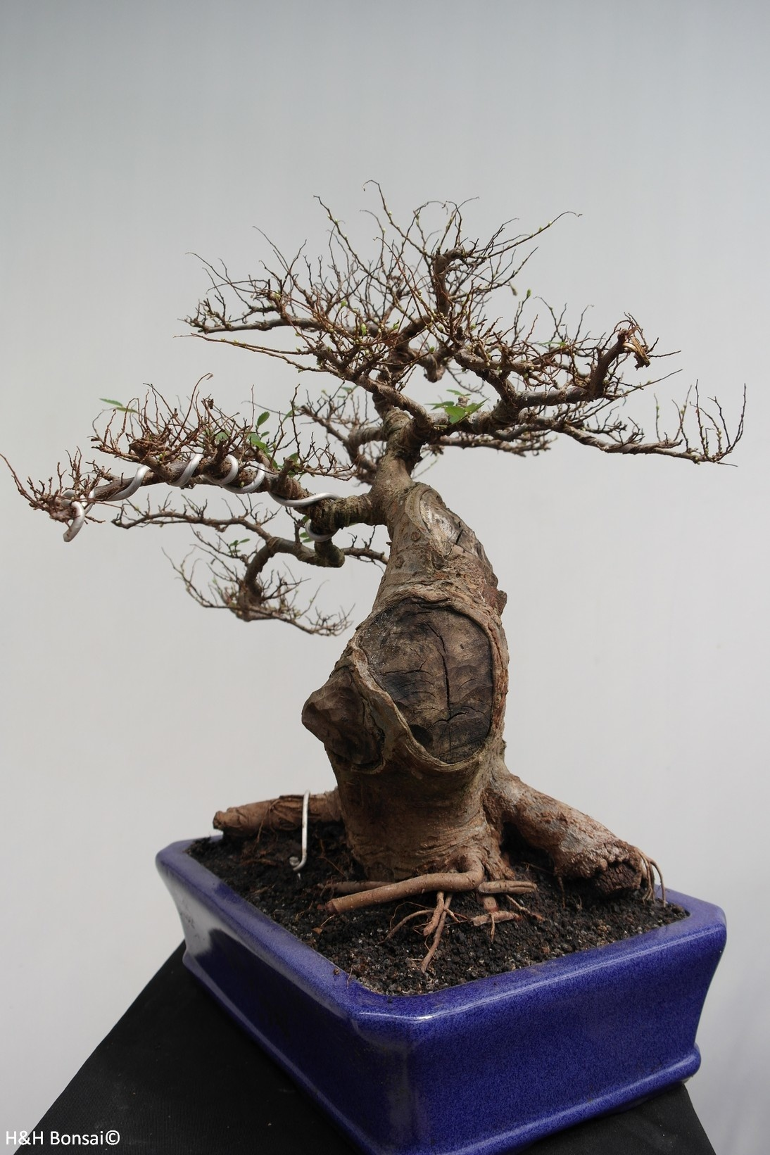 Bonsai Orme de chine, Zelkova, no. 7856