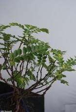 Bonsai Phyllanthus buxifolius, nr. 7859