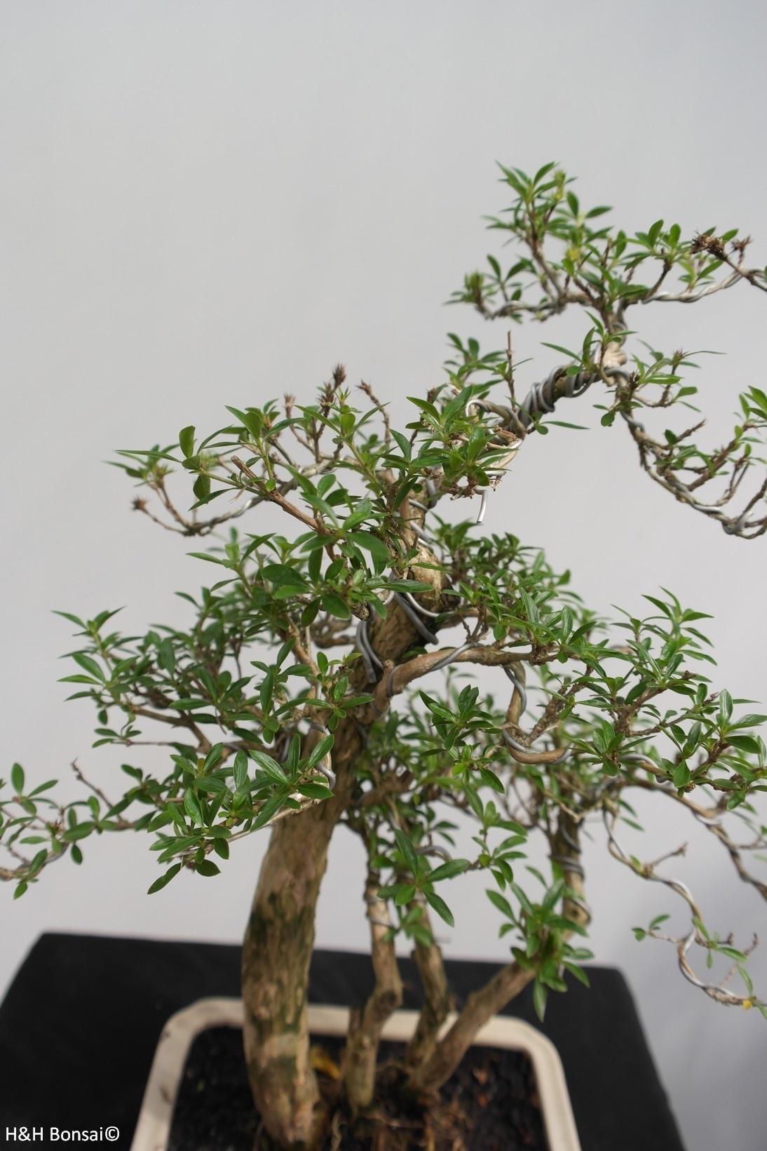 Bonsai Neige de juin, Serissa foetida, no. 7861